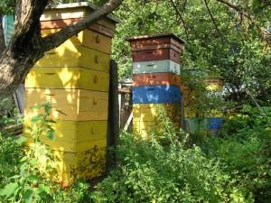 Первым шагом пчеловодства является семья для вывода маток
