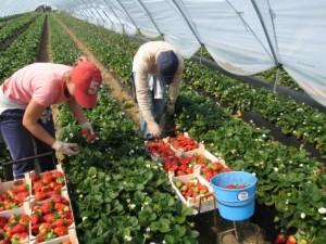 Технологии выращивания клубники