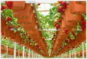 Промышленное выращивание клубники