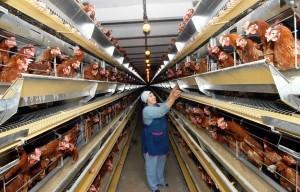 Бизнес-план по разведению куриц