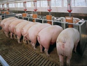 Бизнес план мини свинофермы, выгодно ли строительство своими руками, где купить оборудование?