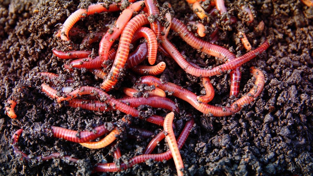 Актуальность бизнеса по разведению червей в домашних условиях