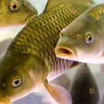 Зарабатываем деньги на разведении рыбы