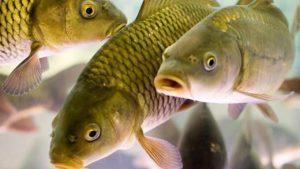 как заработать на разведении рыбы