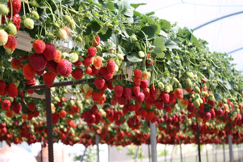 выращивание тепличной клубники